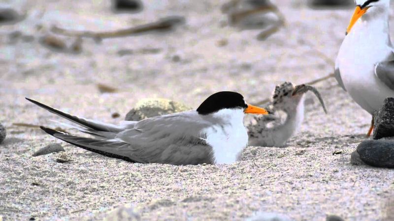 Least Tern chick eats a big meal