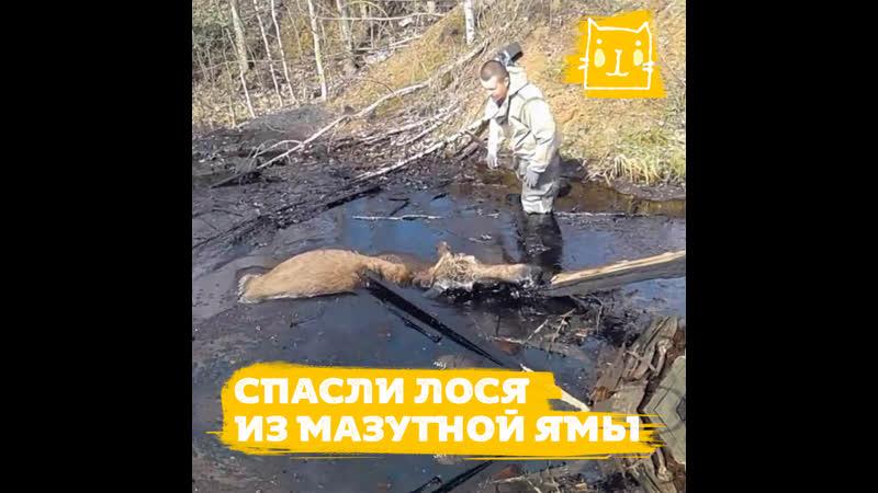 Лось угодил в яму с мазутом