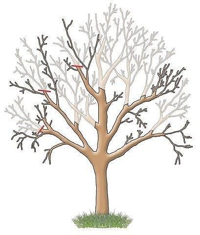 Правильная обрезка плодовых деревьев!