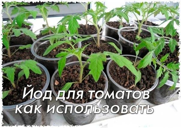 Йод для томатов - как его использовать Рассаду помидоров поливают раствором йода для более быстрого роста (1 капля на три литра). После применения этого раствора рассада зацветёт быстрее, а