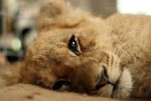 самых львица плачет картинки вашему вниманию самую