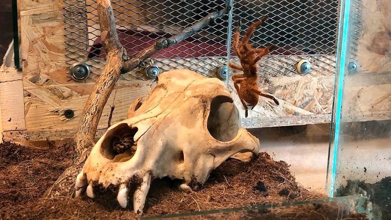 Террариум для паука птицееда Pterinochilus murinus
