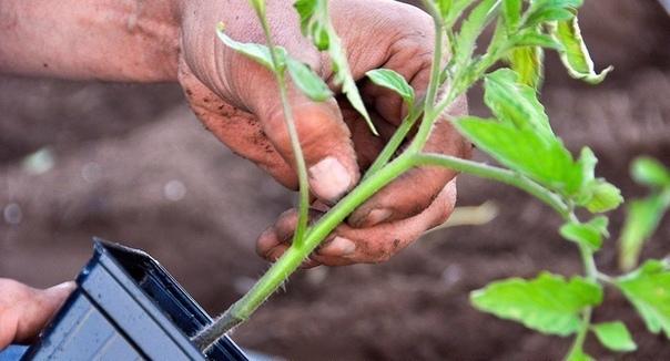 ТОП-5 проблем с рассадой томатов и пути их решения