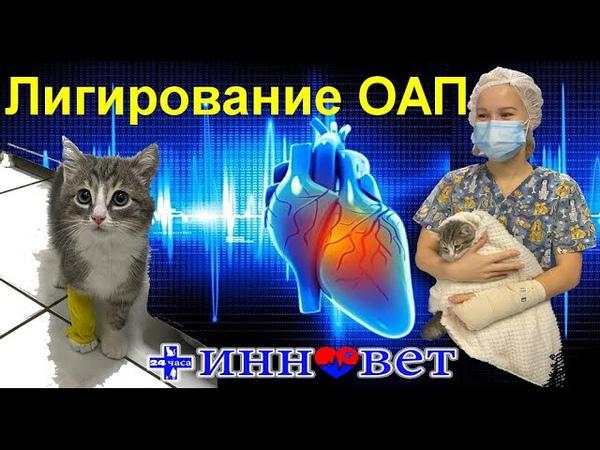 Котёнок 2 месяца Лигирование открытого артериального протока ОАП Болталлов проток 19 01 21