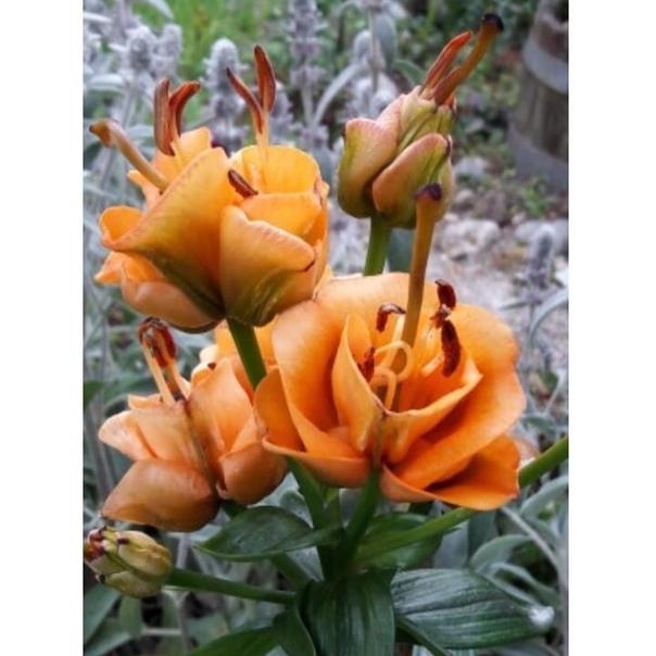 Лилия азиатский гибрид Apricot Fudge ( Эприкот Фадж , лилия - роза