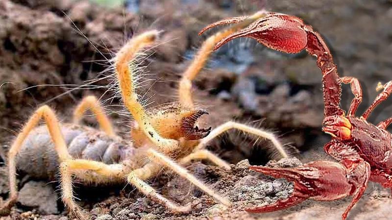 СОЛЬПУГА он вам не паук! Самое ОПАСНОЕ насекомое! Сольпуга против скорпиона муравьев птицы