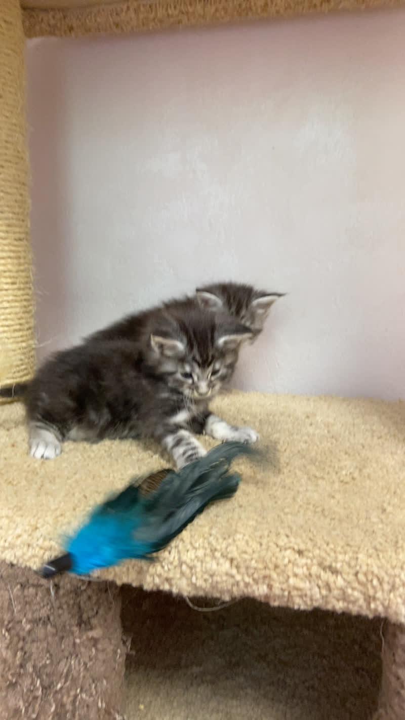Котята Мейн-Кун  Katrin's Tails*RU