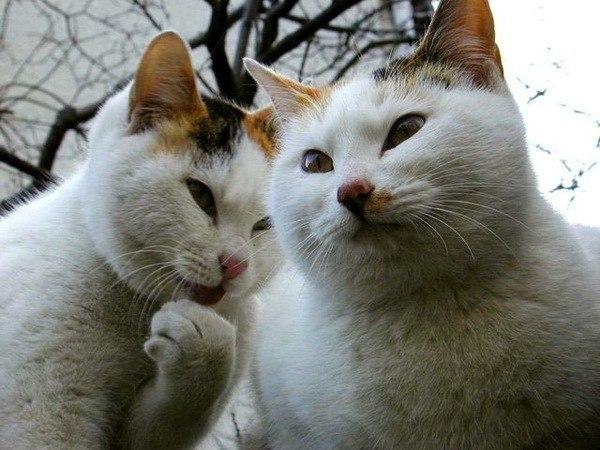 Кисы-сплетницы (источник: gofazenda)