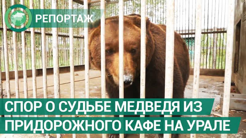 Спор о судьбе медведя из придорожного кафе разгорелся на Урале ФАН ТВ