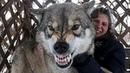 СПАСАЯ волчонка из КАПКАНА, мужчина не знал, к чему это ПРИВЕДЕТ