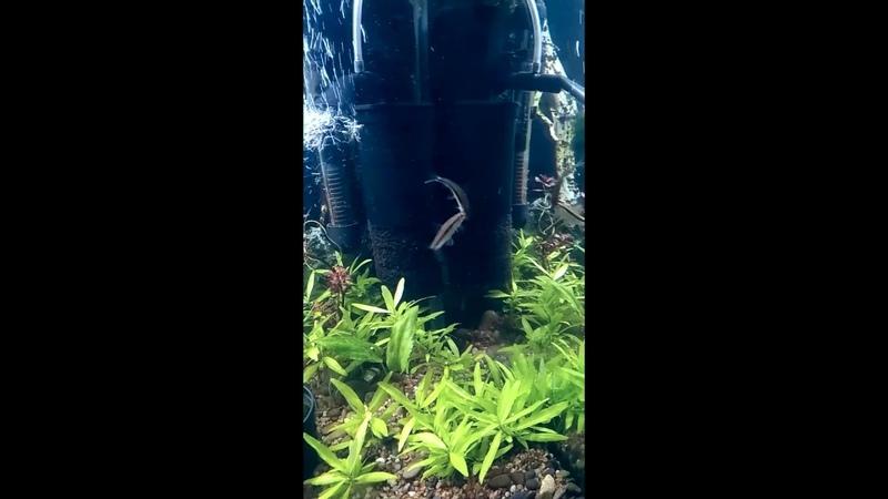 Сиамские водорослееды SAE