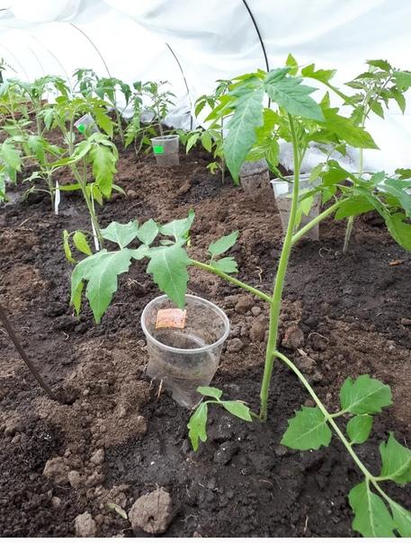 По какой схеме высадить томаты в теплицу.