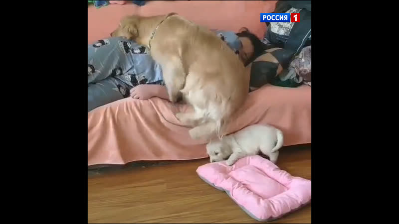 Маленький и большой пёс делят место рядом с хозяйкой — Россия 1