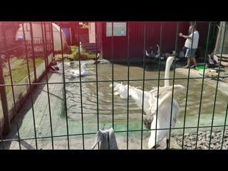 В гостях у Карена Даллакяна. Грациозные лебеди.