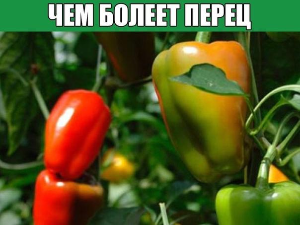 ЧЕМ БОЛЕЕТ ПЕРЕЦ