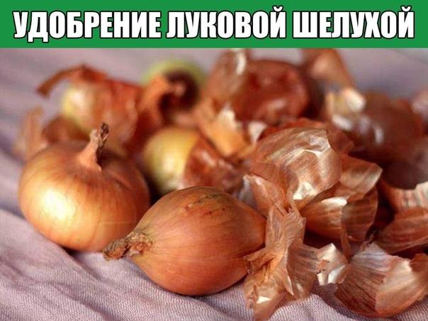 Удобрение луковой шелухой
