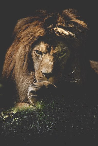 Царь звeрeй.