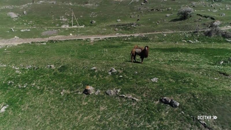 Верблюд Теуа осет Бактриа́н В горах Осетии