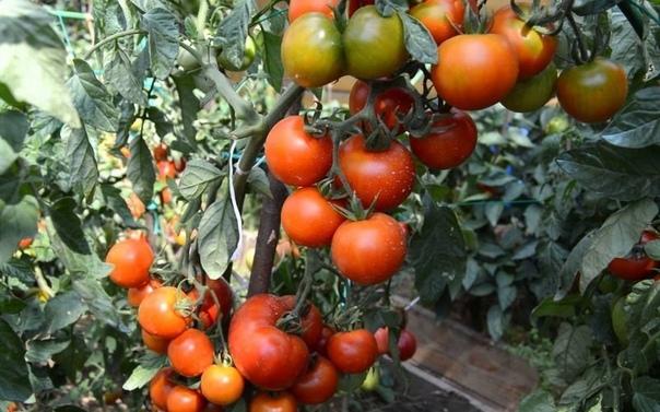 Три важных рекомендации по выращиванию томатов