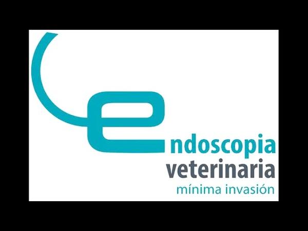 Эндоскопическое удаление крючка из пищевода у собаки Extracción de anzuelo por endoscopia de un perro