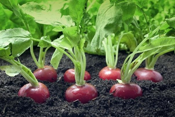 Секреты выращивания редиса
