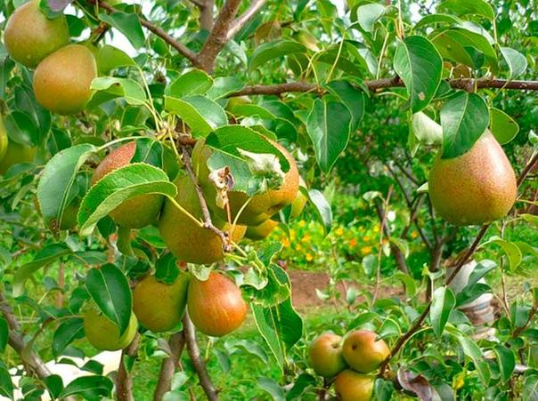 Уральские груши для всей стран Груши в российских садах всегда было не много, а к концу прошлого века она и вовсе чуть не стала у нас редкой культурой. Причина - в крайней малочисленности сортов