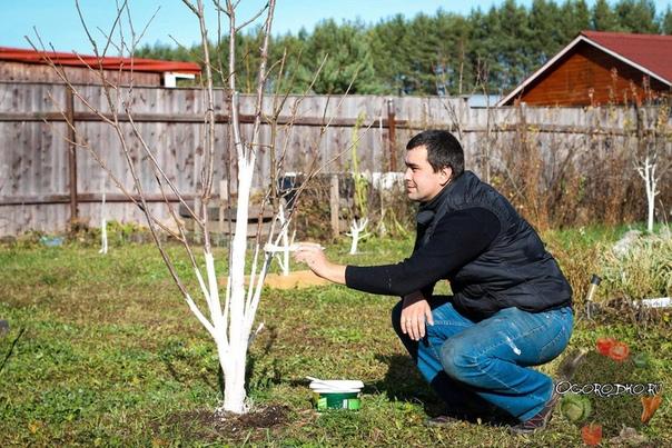 Побелка деревьев - важно и необходимо.