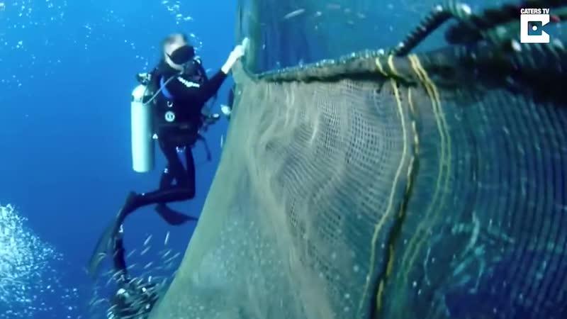 Китовые акулы были так благодарны группе дайверов, которые спасли их от застрявшей в рыболовной сети, что даже остались поплават