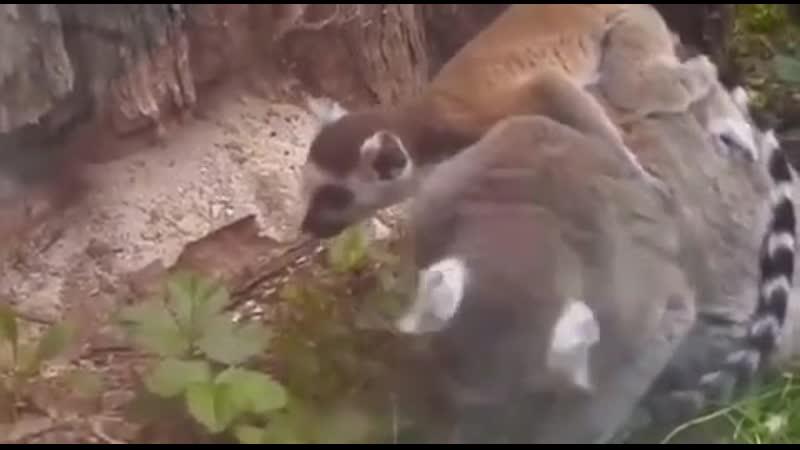 Кашачьи лемуры