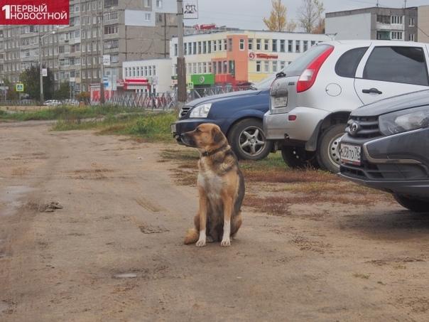 В Тутаеве собака уже месяц преданно ждет умершего хозяина В Ярославской области появился свой Хатико. Вернее, своя. Это собачка Нора. Уже около месяца она сидит около машины своего хозяина и