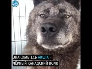 Этот парень живёт с самым большим волком на Земле