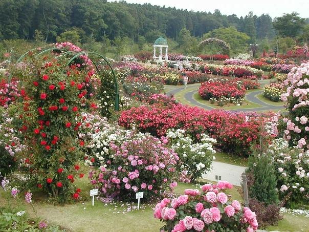 Розарий Наверное, Вам знакомо выражение «роза королева всех цветов», достаточно подходящее, поскольку эти растения боготворят миллионы людей. Многие садовники, не смотря на то, что за розами