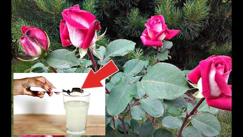 Ни одна подкормка для роз не сравнится с этой Чем подкормить розу в период цветения