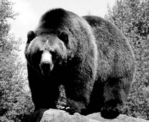 Медведь Собратья по охоте в выходные мишку завалили. Потеряли, правда, двух собачек. Одного косолапый сразу насмерть задавил, а второму так прокусил бедро, что, несмотря на все усилия хозяина,