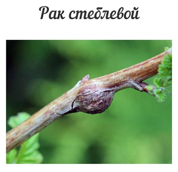 Основные болезни малины