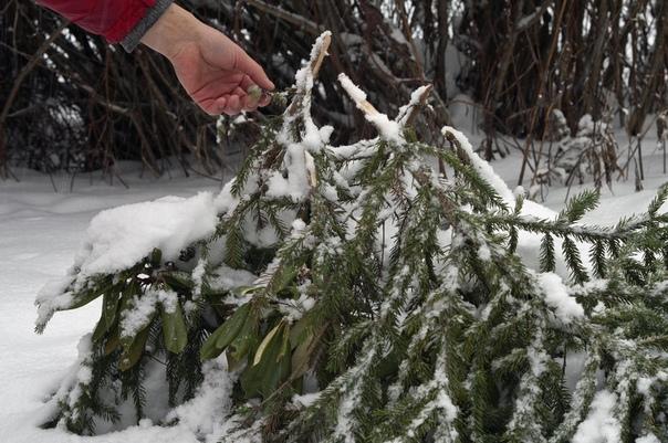 Выжить под укрытием: 3 ошибки, которые могут погубить растения. Укрытие растений на зиму тема отнюдь не новая, и тем не менее каждую весну дачники подсчитывают выпавшие деревья и кустарники.