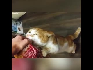 Такие смешные, животные-воришки))