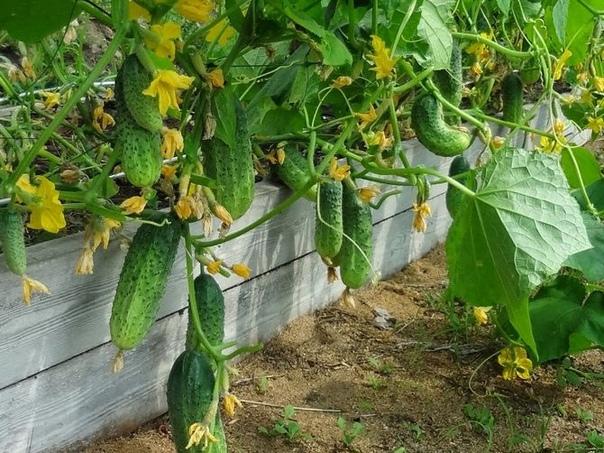 Угостите огурцыуксусом Перед посевом семена огурцов 12-14 мин подержите в растворе марганцовки (1 г на 200 мл воды), промойте под струей воды, просушите.Когда почва прогреется до ,14-16 град.,