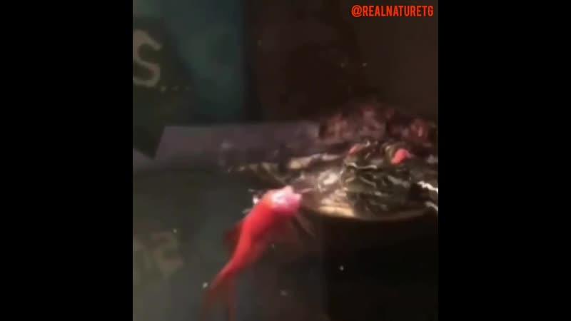 Черепаха безжалостно откусывает голову своей добыче