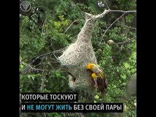 Птички-неразлучники