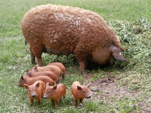 Фермеру стало плохо и он потерял сознание, после чего его заживо съели собственные свиньи Жуткая история пришла к нам из Польши. 71-летненго местного жителя нашел мертвым его сосед, который