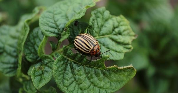 Как и чем бороться с колорадским жуком на картофеле