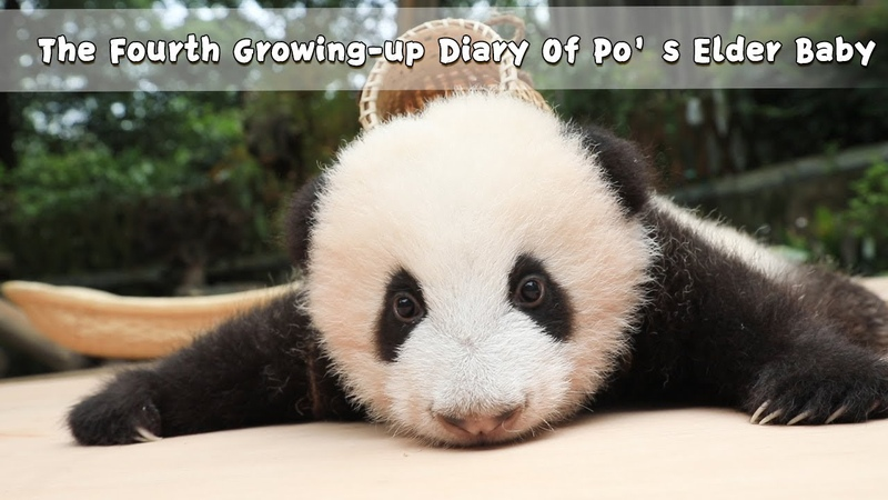 The Fourth Growing-up Diary Of Po's Elder Baby | iPanda