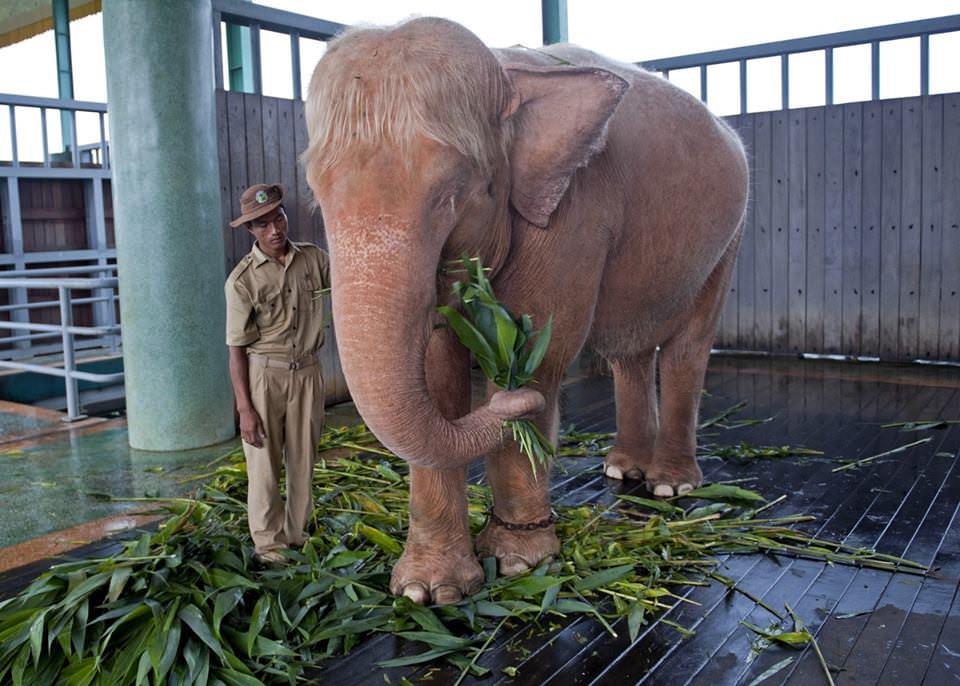 Рeдкий слон-aльбинос