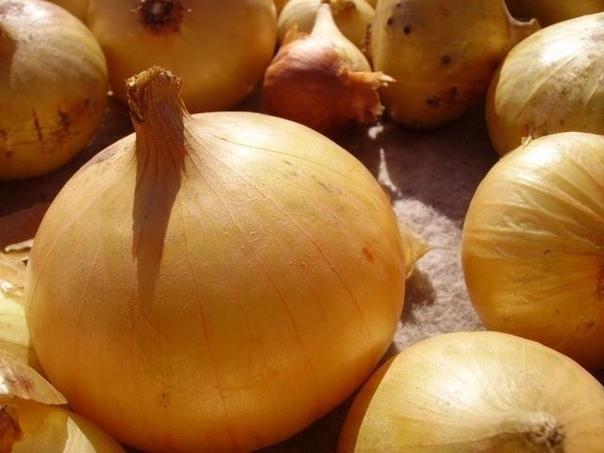Секреты выращивания крупного лука