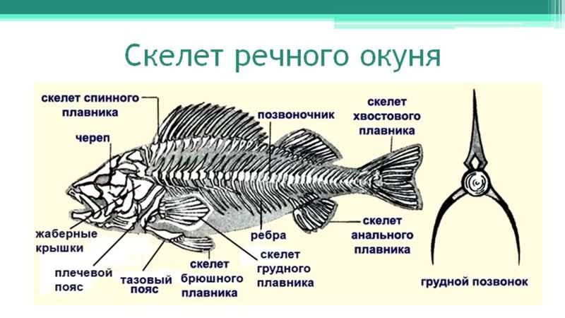 Речной окунь Часть 1 Надкласс Рыбы Тип Хордовые Онлайн подготовка к ЕГЭ по Б