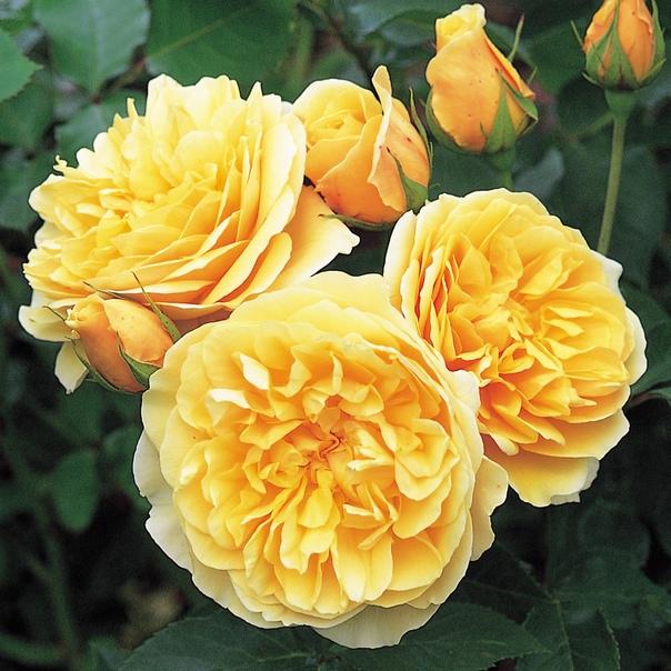Самые ароматные и яркие розы от лавки ГЕРБЕР Предлагаем коллекцию из 70 сортов РОЗ от 250 руб. в альбоме на