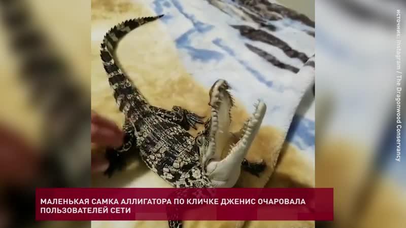 Маленькая самка аллигатора очаровала пользователей Сети