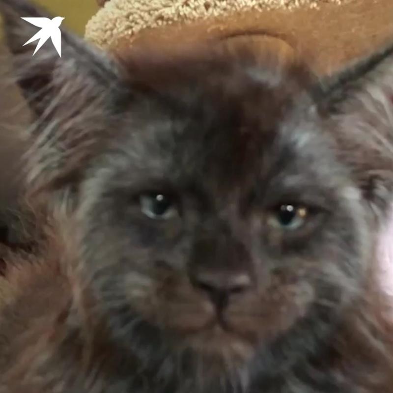 Кошка с лицом человека