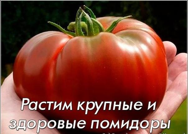 Растим крупные и здоровые помидоры